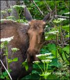Solitary moose