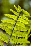 Interrupted fern frond