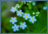 More Forget-Me-Nots