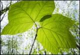 Maple Leafed viburnum