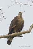 Eagle, Pallas's Fish @ Kaziranga