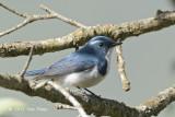 Flycatcher, Ultramarine (male) @ Pangot