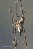 Sunbird, Purple (female) @ Corbett