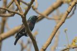 Sunbird, Purple (male) @ Corbett