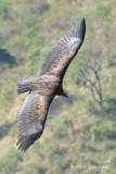 Vulture, Himalayan Griffon @ Nainital
