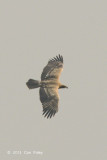 Eagle, Indian Spotted @ Kaziranga