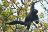 Gibbon, Western Hoolock