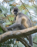 Langur, Capped @ Hoollongapar Gibbon Sanctuary