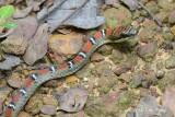 Twin-barred Tree Snake