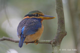 Kingfisher, Rufous-collared (juv male)