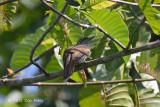 Cuckoo, Banded Bay (fledgling)