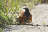 Coucal, Greater (sunning)