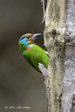 Barbet, Black-browed