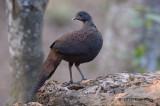 Pheasant, Mountain Peacock (juvenile)