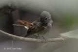 Flycatcher, Pale Blue (female)