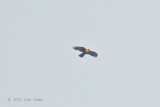 Eagle, Rufous-bellied