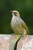 Bulbul, Straw-headed @ Wallace Way
