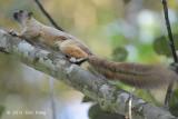 Squirrel, Cream-coloured Giant