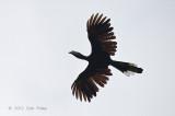 Hornbill, Black (female)