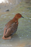 Crake, Red-legged @ Pasir Ris