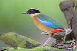 Pitta, Blue-winged @ Bidadari