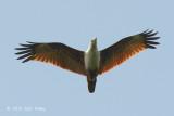 Kite, Brahminy @ Jelutong