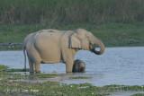 Elephant, Indian @ Kaziranga
