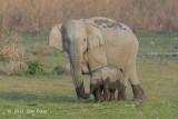Elephant, Indian
