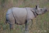 Rhinoceros, Indian @ Kaziranga