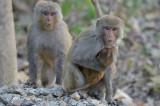 Macaque Rhesus @ Kaziranga