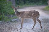 Deer, Spotted @ Corbett