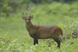 Deer, Hog @ Kaziranga