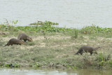 Otter, Smooth Clawed @ Kaziranga