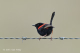 Fairy-wren, Red-backed (male) @ Julatten