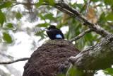 Riflebird, Victoria's (male) @ Julatten