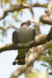 Pigeon, Topknot @ Mt Lewis