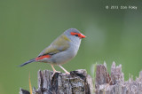 Finch, Red-browed @ Mt Lewis