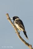Butcherbird, Pied @ Atherton