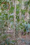 Bowerbird, Tooth-billed (bower) @ Lake Barrine