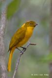 Bowerbird, Golden