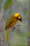 Bowerbird, Golden @ Mt Hypipamee