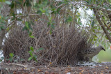 Bowerbird, Great (at bower) @ Julatten
