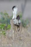 Bustard, Australian (displaying male) @ Mary Road