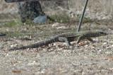 Lace Monitor Lizard @ Julatten