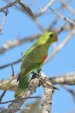 Parrot, Red-winged (female) @ Mt Molloy