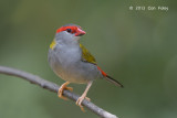 Finch, Red-browed @ Kingfisher Park