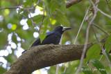 Butcherbird, Black @ Jindalba