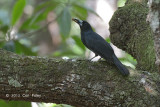 Butcherbird, Black