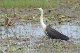 Heron, White-necked @ Lake Mitchell