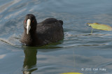 Coot, Eurasian @ Lake Barrine